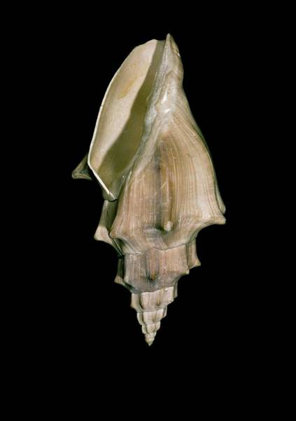 Gastropod Wall Art - Photograph - Marine Gastropod Shell by Natural History Museum, London/science Photo Library