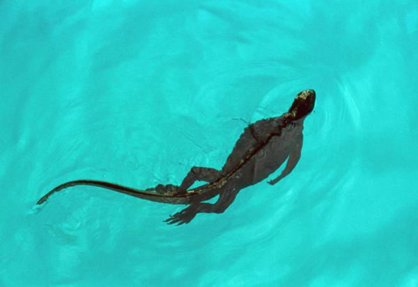 Iguana Photograph - Marine Iguana (amblyrhynchus Cristatus) Swimming by John Beatty/science Photo Library