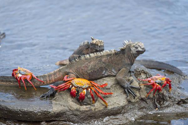 Galapagos Islands Photograph - Marine Iguana Pair And Sally Lightfoot by Tui De Roy