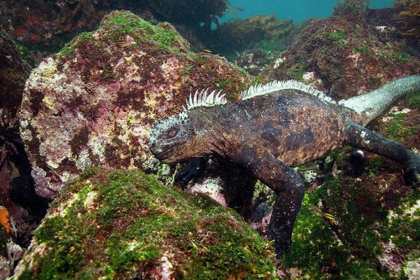 Iguana Photograph - Marine Iguana by Peter Scoones/science Photo Library