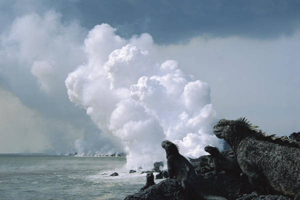 Iguanidae Photograph - Marine Iguanas And Steam From Lava by Tui De Roy