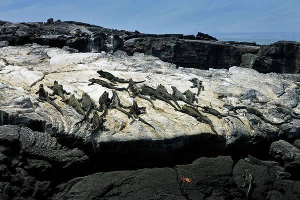 Iguana Photograph - Marine Iguanas by Steve Allen/science Photo Library