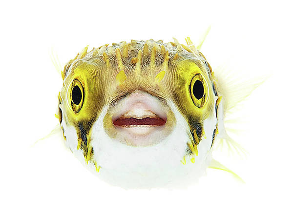 Balloonfish Photograph - Marine Wildlife On White by Shannon Benson