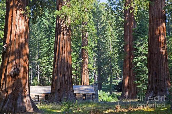 Sequoia Grove Photograph - Giant Sequoias Mariposa Grove by John Stephens
