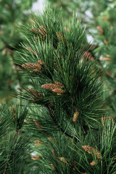 Pine Needle Photograph - Maritime Pine (pinus Pinaster) by Lesley G Pardoe/science Photo Library