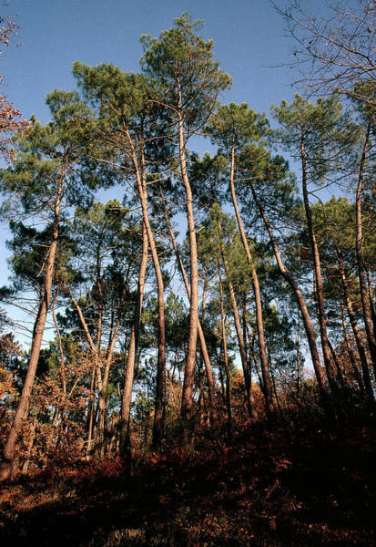Coniferous Tree Photograph - Maritime Pine Trees by M F Merlet/science Photo Library
