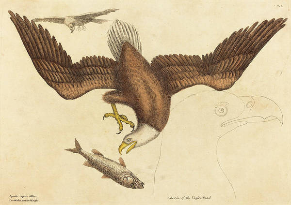 Bald Eagles Drawing - Mark Catesby English, 1679 - 1749, The Bald Eagle Falco by Quint Lox