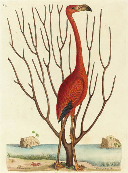 Flamingo Drawing - Mark Catesby English, 1679 - 1749, The Flamingo by Quint Lox