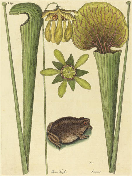 Land Mark Drawing - Mark Catesby English, 1679 - 1749, The Land Frog Rana by Quint Lox