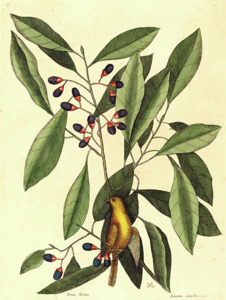 Titmouse Drawing - Mark Catesby,english, 1679-1749, The Yellow Titmouse by Litz Collection
