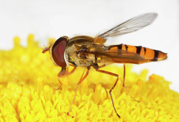 Single Leaf Wall Art - Photograph - Marmalade Hoverfly On A Flower by Nigel Downer