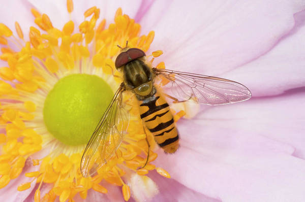 Entomological Photograph - Marmalade Icon Hover-fly by Nigel Downer