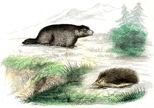 Hedgehog Photograph - Marmot And Hedgehog by Collection Abecasis