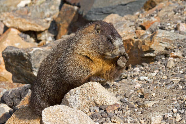 Photograph - Marmot At Rock Cut In Rocky Mountain National Park by Fred Stearns