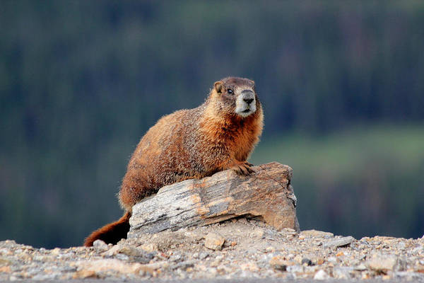 Marmot Photograph - Marmot by Shane Bechler