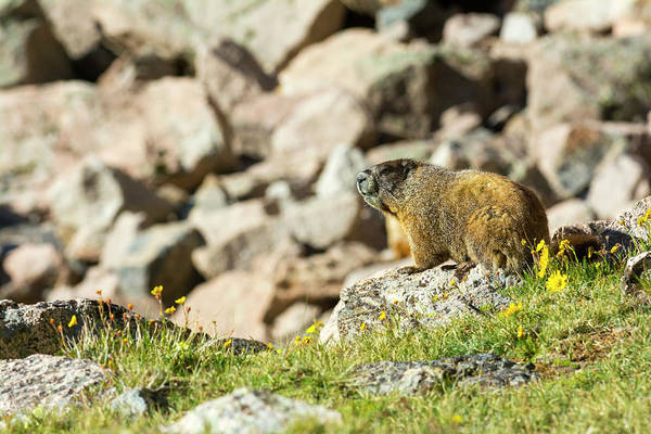 Marmot Photograph - Marmot In Rocky Mountain National Park by Kennan Harvey