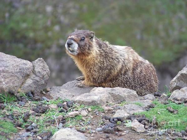 Photograph - Marmot On The Edge by Charles Robinson