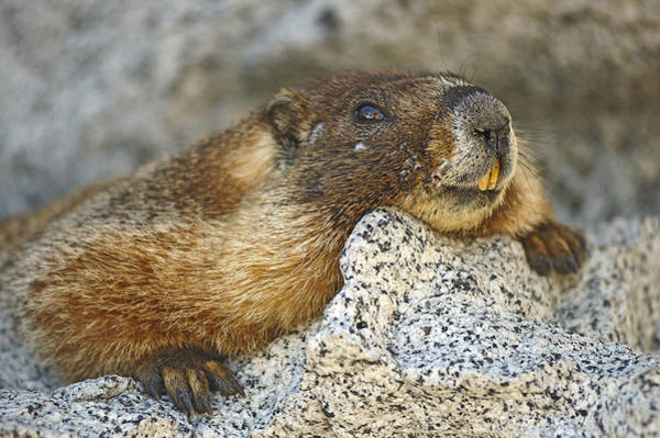 Photograph - Marmot Resting by Lee Kirchhevel
