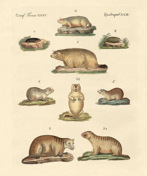 Wall Art - Drawing - Marmots And Moles by Splendid Art Prints