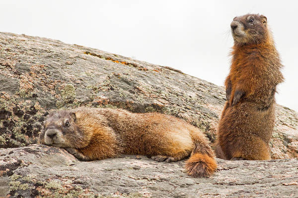 Marmot Photograph - Marmots In Yellowstone by Natural Focal Point Photography