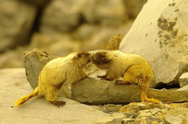 Marmot Photograph - Marmots Kissing by Jeff Swan