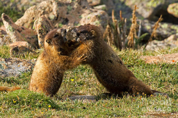 Photograph - Marmots Playing At Rock Cut In Rocky Mountain National Park by Fred Stearns
