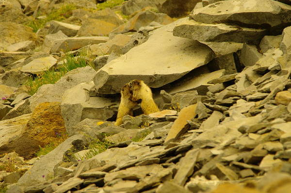 Marmot Photograph - Marmots Playing by Jeff Swan