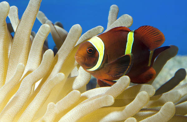 Clownfish Wall Art - Photograph - Maroon Clownfish by Nigel Downer