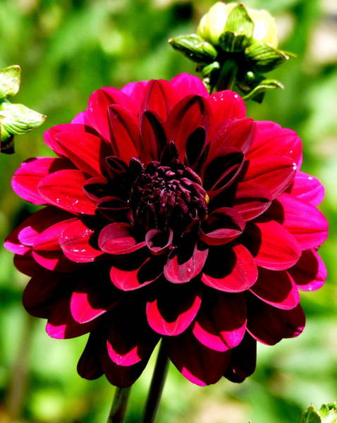 Photograph - Maroon Dahlia by Jeff Lowe
