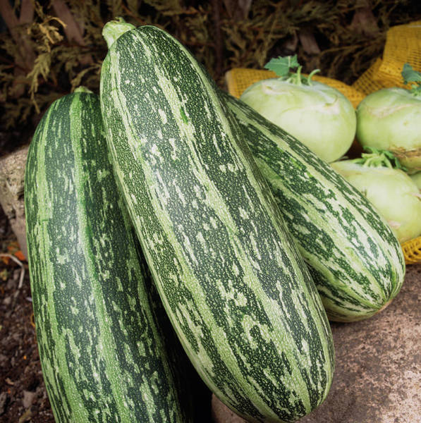 Cucurbita Wall Art - Photograph - Marrows by Ray Lacey/science Photo Library