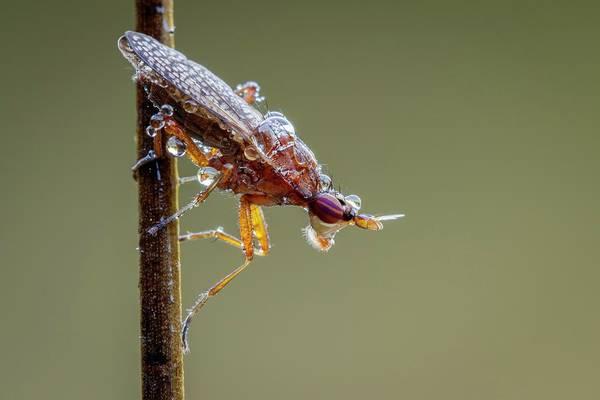 Arthropods Wall Art - Photograph - Marsh Fly by Heath Mcdonald
