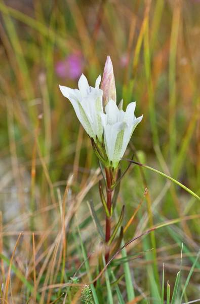 Studland Photograph - Marsh Gentian (gentiana Pneumonanthe) by Bob Gibbons