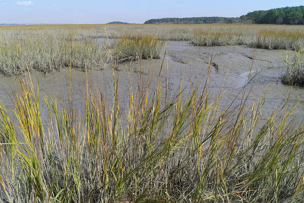 Photograph - Marsh Grasses In Autumn by MM Anderson