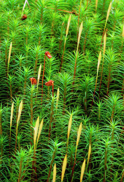 Wall Art - Photograph - Marsh Hair Moss. by Duncan Shaw/science Photo Library