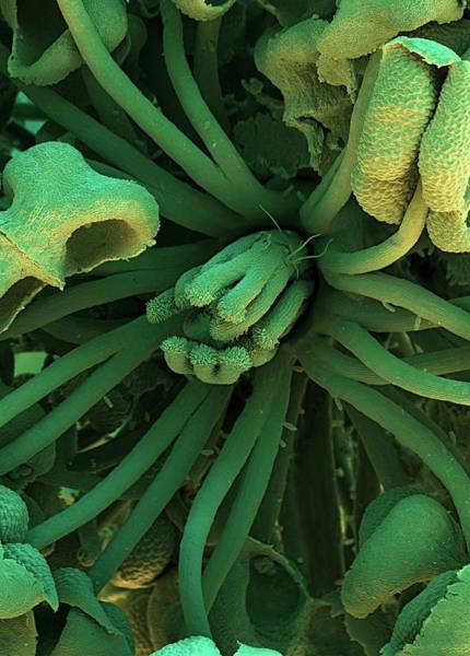 Carpel Photograph - Marsh Mallow Flower by Stefan Diller/science Photo Library