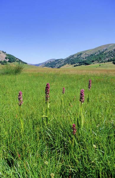 Marsh Grass Photograph - Marsh Orchid (dactylorhiza Incarnata) by Bruno Petriglia/science Photo Library