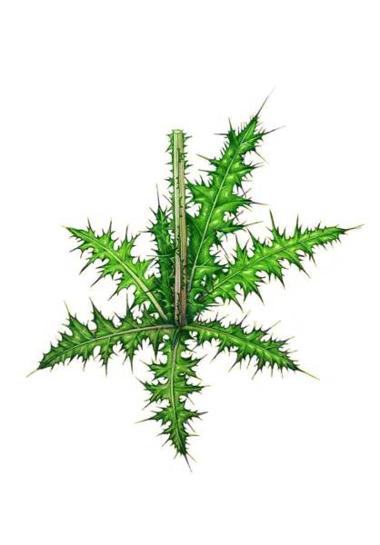 Wall Art - Photograph - Marsh Thistle (cirsium Palustre) by Lizzie Harper/science Photo Library
