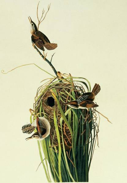 Wren Photograph - Marsh Wren by Natural History Museum, London/science Photo Library