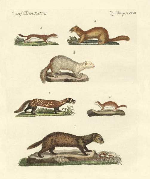 Ferrets Drawing - Martens And Weasel by Splendid Art Prints