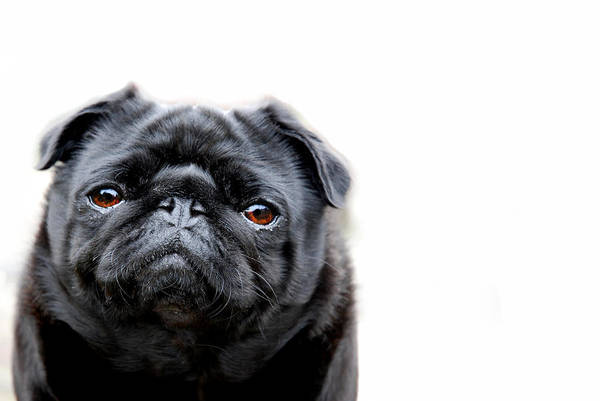 Pug Photograph - Martha Pug by Mark Rogan
