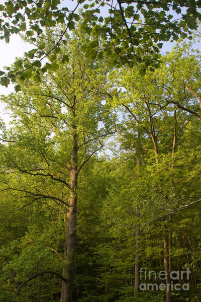 Photograph - Maryland Trees Canopy by Chris Scroggins