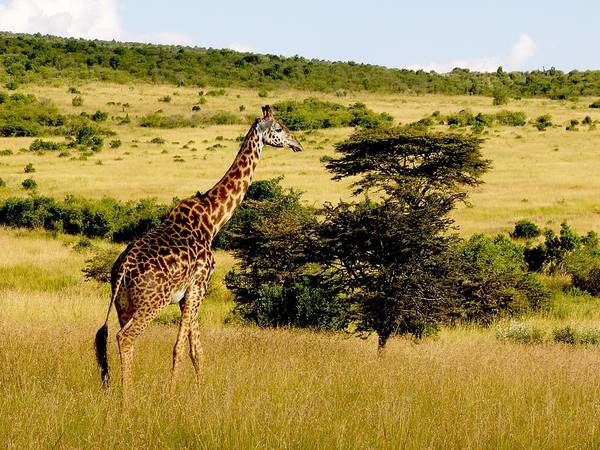 Photograph - Masaai Giraffe by David Rich