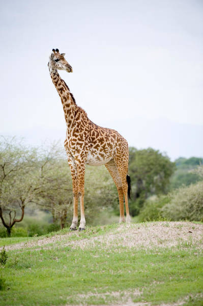 Tarangire Photograph - Masai Giraffe Giraffa Camelopardalis by Panoramic Images