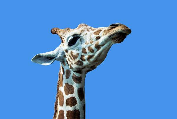 Wall Art - Photograph - Masai Giraffe by John Greim/science Photo Library