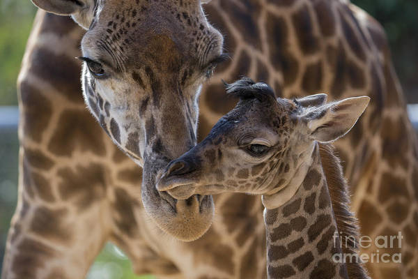 Art Print featuring the photograph Masai Giraffe And Calf by San Diego Zoo