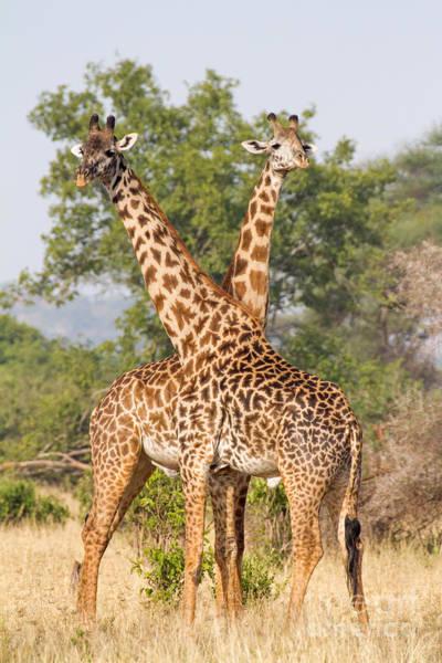Photograph - Masai Giraffes by Chris Scroggins