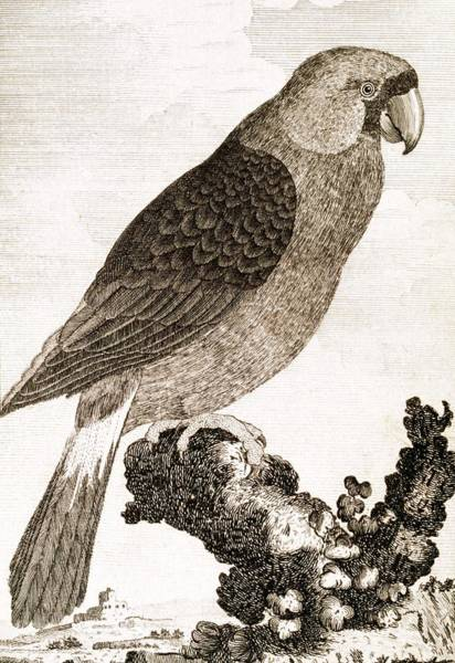 Wall Art - Photograph - Mascarene Parrot by George Bernard/science Photo Library