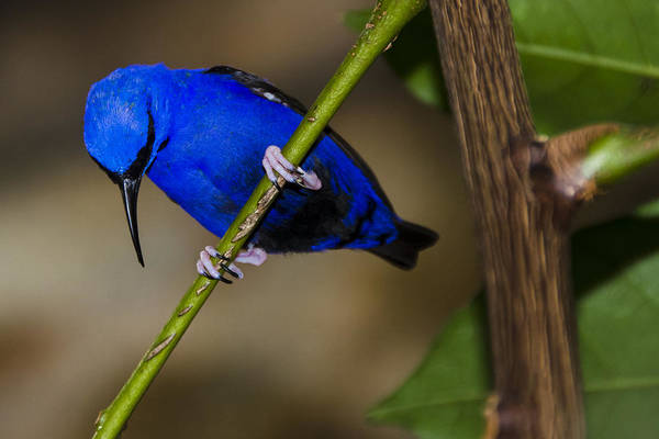 Photograph - Masked Blue Bird by Penny Lisowski