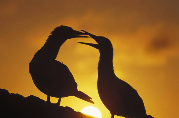 Photograph - Masked Booby Couple Courting At Sunset by Tui De Roy