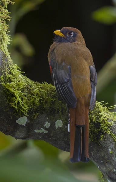 Trogon Photograph - Masked Trogon, Ecuador by John Shaw